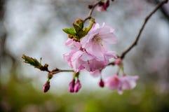 Blommor och knopp för körsbärsröda blomningar för makro arkivfoton