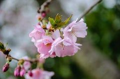 Blommor och knopp för körsbärsröda blomningar för makro royaltyfri bild
