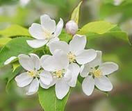 Blommor och knoppar Royaltyfria Foton