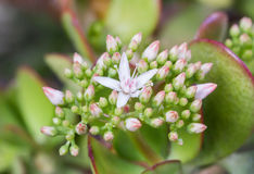 Blommor och knoppar av ett jadeträd Royaltyfri Foto