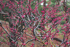 Blommor och knoppar av sakura på ett träd Royaltyfri Bild