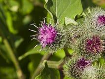 Blommor och knoppar på den ulliga eller duniga kardborren, Arctiumtomentosum, makro, selektiv fokus, grund DOF royaltyfria foton