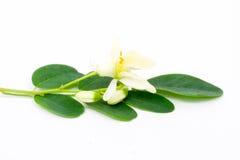 Blommor och Leaves av Moringa royaltyfri bild