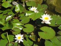 Blommor och Lilly Pads Royaltyfri Fotografi