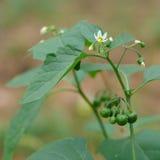 Blommor och omogna bär av Solanum Nigrum Royaltyfri Foto