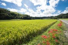 Blommor och risfält royaltyfria foton