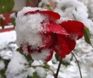 Blommor och snow Royaltyfri Foto