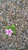 Blommor och stenar Arkivfoton