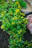 Blommor och stenar Arkivfoto