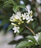 Blommor orange Jessamine Fotografering för Bildbyråer