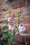Blommor på bakgrund för tegelstenvägg Royaltyfria Foton