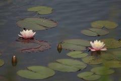 Blommor på bevattna Arkivfoton