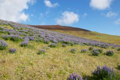 Blommor på den Vestmannaeyjar vulkan Royaltyfri Bild