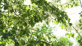 Blommor på det Apple trädet i vår lager videofilmer