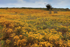 Blommor på dyerna på västkusten Fotografering för Bildbyråer