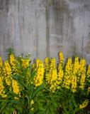 Blommor på en bakgrund av betongväggen för bakgrund Bakgrund royaltyfria foton