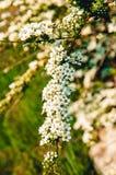 Blommor på en filial av en buske Arkivfoto