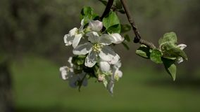 Blommor på ett blomningträd stock video