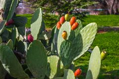 Blommor på kaktuns för taggigt päron royaltyfria foton