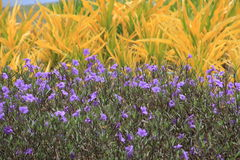 Blommor på Koh Samui Airport Arkivfoton