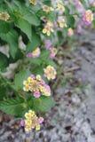 Blommor på kusten av sjön Garda Arkivbild