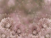 Blommor på oskarp rosa färg-vit bakgrundsbokeh Rosa färgen blommar krysantemumet alla några objekt för den blom- illustrationen f Arkivfoton