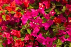 Blommor på Phi Phi Island Arkivbilder