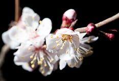 Blommor på trädet i natur på en svart bakgrund Makro royaltyfri foto