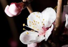 Blommor på trädet i natur på en svart bakgrund Makro arkivbilder