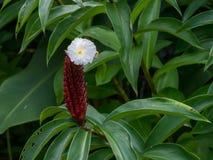 Blommor på vattenträdgårdar av Vaipahi, Tahiti, franska Polynesien Arkivbilder