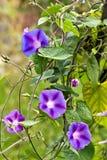 Blommor på vinrankan Arkivbilder