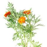 blommor på vit Royaltyfri Bild