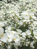 Blommor precis vita små blommor arkivbilder