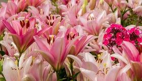 Blommor rosa liljor Royaltyfria Bilder