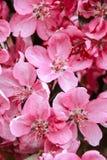 blommor rosa sakura Royaltyfri Bild