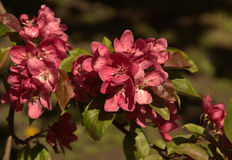 blommor rosa sakura Royaltyfri Foto