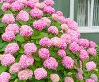 Blommor rosa vanlig hortensiabuske Arkivfoto