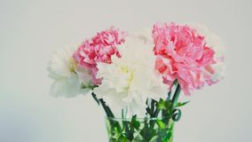 Blommor rotation på vit bakgrund, blom- sammansättning består av nejlika arkivfilmer