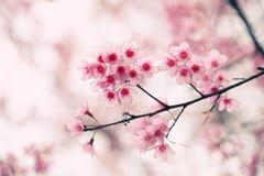 Blommor Sakura för körsbärsröd blomning Arkivbilder