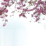Blommor SalaoBungor, stolthet blomma av för Indien eller drottning` s royaltyfri fotografi