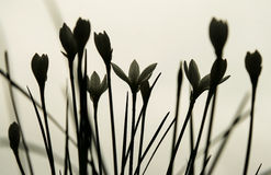 Blommor Silhoetted Royaltyfria Foton