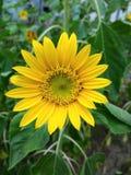 Blommor solros Royaltyfri Foto