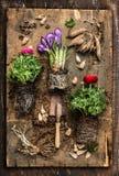 Blommor som arbeta i trädgården med krokus, smörblommor, skopa, rotar och kulor på lantlig träbakgrund, överkant Arkivbild