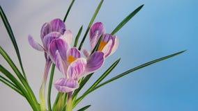 Blommor som blommar Timelapse arkivfilmer