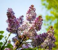 Blommor som blomstrar lilan mot himlen Royaltyfria Bilder