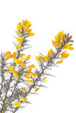 blommor som isoleras över buskefjäderwhite Arkivfoton