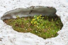 Blommor som kommer ut ur snön Arkivbild