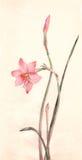 blommor som målar vattenfärgzephyranthes Royaltyfri Foto