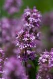 blommor som växer wild rosa timjan Fotografering för Bildbyråer