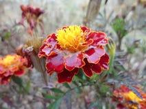 blommor Tagetes Arkivfoto